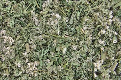 Трава болиголова