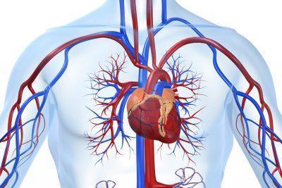 Кровоснабжение органов дыхания.