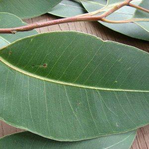 Эвкалиптовые листья