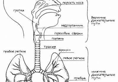 Строение дыхательной системы ребенка