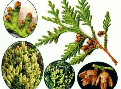 Части растения туи