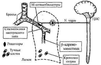Схема действия бронхолитиков