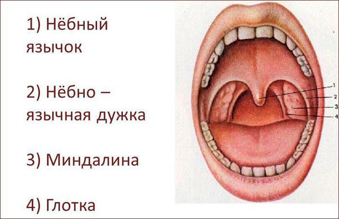 Четыре вида миндалин у человека