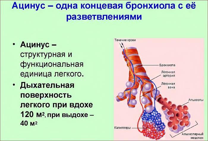 строение ацинуса