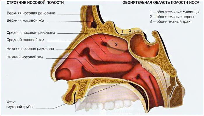Строение носовой полости