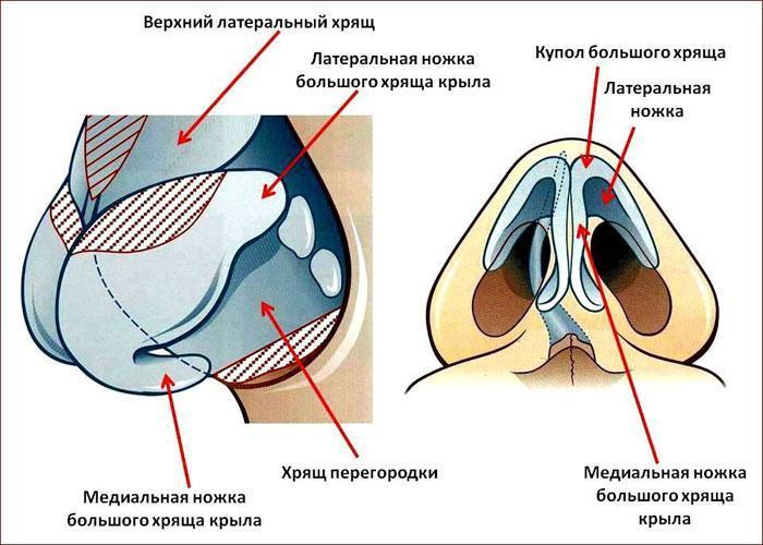 Строение кончика носа