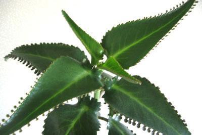 Растение коланхоэ