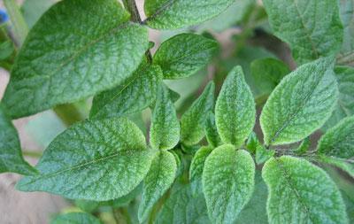 Зеленая ботва картофеля