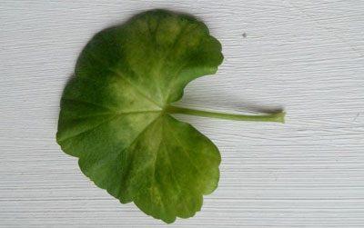 Лист герани