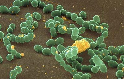 Бактерии стафилококка
