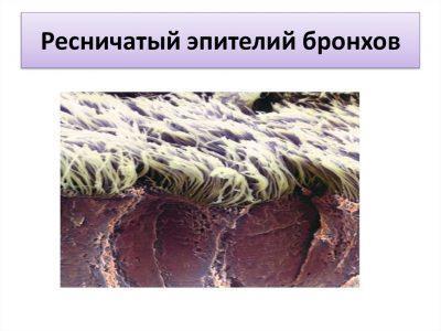 Тонус эпителия бронхов