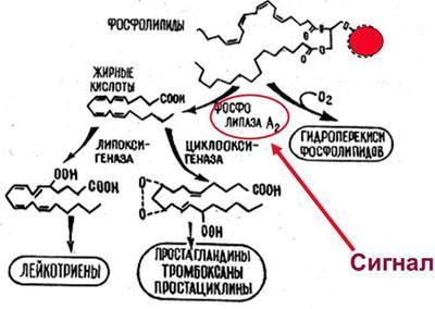 Обмен арахидоновой кислоты
