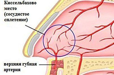 Кровеносная система носа