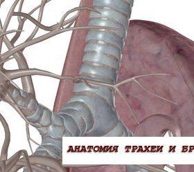 Анатомия и физиология органов дыхания: трахея и бронхи